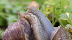 Snail couple. Snail lovers. Snail couple make love. Stock Footage