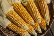 Stock Photo of fresh ripe corn growing in rural field