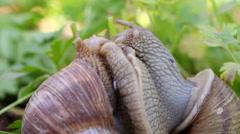 Snail couple. Snail lovers. Snail couple make love. Stock Footage
