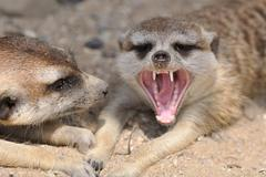 Meerkat in group with open mouth and visible teeth Stock Photos