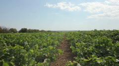 Vineyards on the Tuzla Spit, Krasnodar region Stock Footage