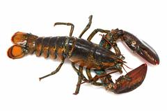 alive lobster - stock photo
