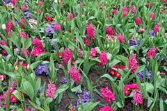 Hyacinth flowers Stock Photos