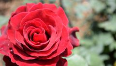 Stock Video Footage of Red rose Cinematic  new shot