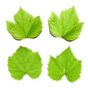 Green grape leaves isolated on white Stock Photos