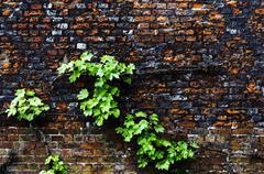Virginia creeper on a brick wall Stock Photos