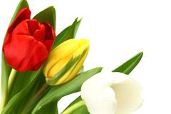Colorful tulips Stock Photos