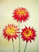 Cactus Dahlia - Karma Bon Bini Stock Photos