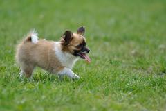 Chihuahua puppy put out one's tongue in outdoor grass Stock Photos