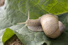 Close-up of burgundy snail - stock photo
