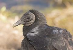 Black vulture close up view Stock Photos