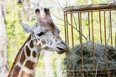 Rothschild's giraffe (giraffa camelopardalis rothschildi) eats dried hay Stock Photos