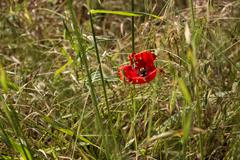 red poppy on green weeds field - stock photo