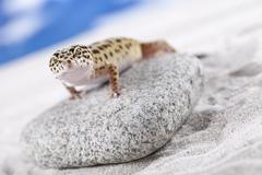 Leopard Gecko - stock photo