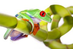 green red-eyed frog - stock photo