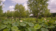 Stock Video Footage of blooming lilies