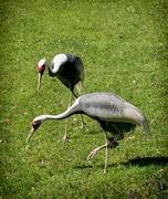 white-naped crane (grus vipio) - stock photo