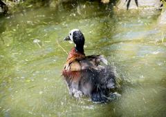 White-faced whistling duck (dendrocygna viduata) Kuvituskuvat