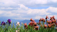 Stock Video Footage of Iris flowers with blue sky and mountain in the background.