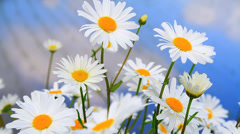 White daisies flowers with rice field in the background. Stock Footage