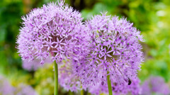 Allium flowers in spring garden Stock Footage