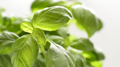 Close up of fresh basil leaves, dolly shot Stock Footage