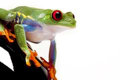 Green Frog in concepts - stock photo