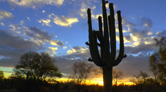 Stock Video Footage of Blooming Saguaro Cactus Silhouettes Time Lapse