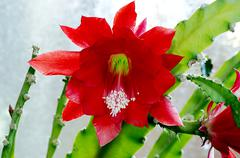red blooming cactus with a glass background - stock photo
