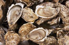 Oyster mollusk - stock photo