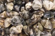 Stock Photo of Clams mollusk