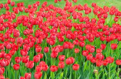 Stock Photo of Flowers tulips in the garden