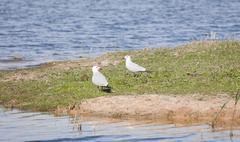 The Caspian Gull - stock photo