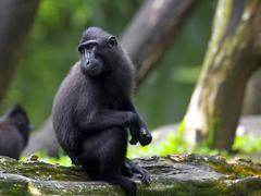 Crested Black Macaque Stock Photos