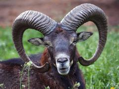 Mouflon - Ovis musimon Stock Photos