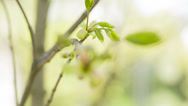 Stock Video Footage of focus pull through maple buds and leaves