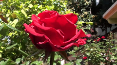 A rose flower close up 2 Stock Footage