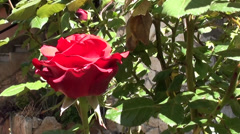A rose flower close up Stock Footage
