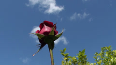 Rose against blue sky Stock Footage