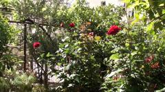 Claret rose bushes in garden - stock footage