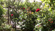 Stock Video Footage of Claret rose bushes in garden