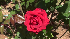 Rose flower in the garden close up 2 Stock Footage