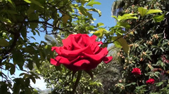 Rose on the wind Stock Footage