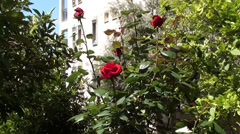 Roses in the garden zoom in 2 Stock Footage