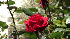 Roses in the garden zoom out 2 Stock Footage