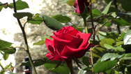 Stock Video Footage of Roses in the garden zoom out 2