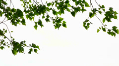 Trembling poplar Stock Footage