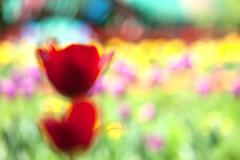 Red tulip, abstraction Stock Photos