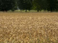 barley crop - stock photo