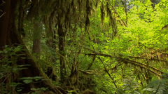 The Maple Grove inside the Hoh Rain Forest at Olympic National Park Washington Stock Footage